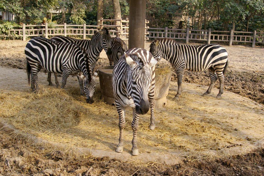 Zebras in the zoo